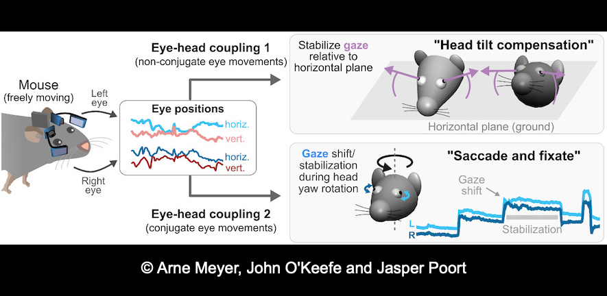 Schematic image by Arne Meyer, John O'Keefe and Jasper Poort